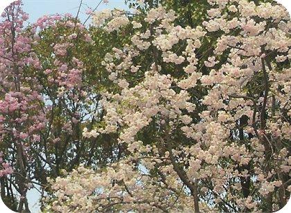 4-10桜1