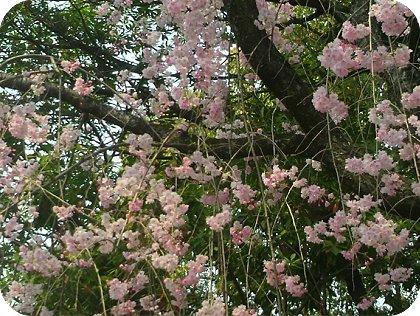 4-10桜2