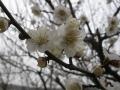 H26.3.1白梅の花(拡大)@IMG_0906