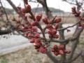 H26.3.1紅梅の花蕾(拡大)@IMG_0907