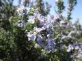 H26.3.23ローズマリーの花(拡大)@IMG_1061