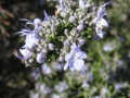 H26.3.23ローズマリーの花(拡大)@IMG_1069