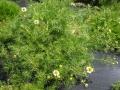 H26.3.23ジャーマンカモマイルの花@IMG_1081