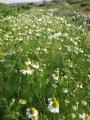 H26.4.11ジャーマンカモマイルの花@IMG_1296