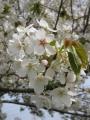 H26.4.12山桜の花(拡大)@IMG_1311