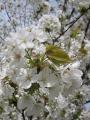 H26.4.12山桜の花(拡大)@IMG_1314