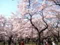 H26.4.15伊那市高遠城址公園桜まつり@IMG_1932