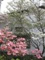 H26.4.22アメリカハナミズキの花@IMG_1376