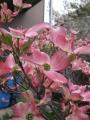 H26.4.22アメリカハナミズキの花(拡大)@IMG_1379