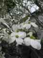H26.4.22アメリカハナミズキの花(拡大)@IMG_1380