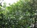 H26.5.13ハッサクの樹@IMG_1623