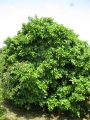 H26.5.13グレープフルーツの樹@IMG_1649