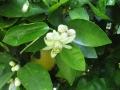 H26.5.13グレープフルーツの花(拡大)@IMG_1639