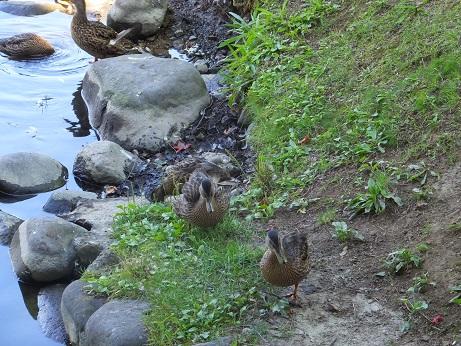 中島公園の鴨