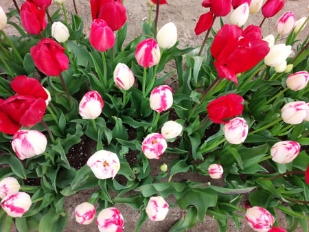 tulip4042.jpg