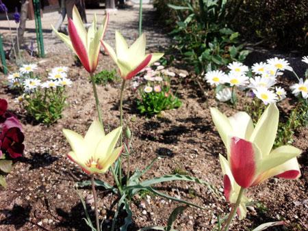 tulip4043.jpg