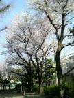 park_sakura002
