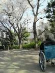 park_sakura003