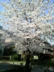 parkside_sakura001