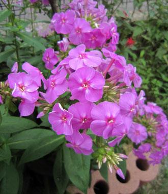 自然交配で生まれたお花