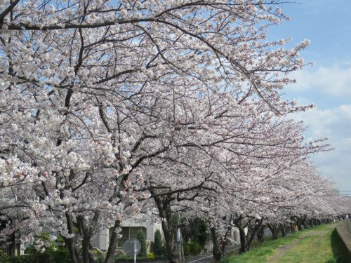sakura tsutsumi14 (7)