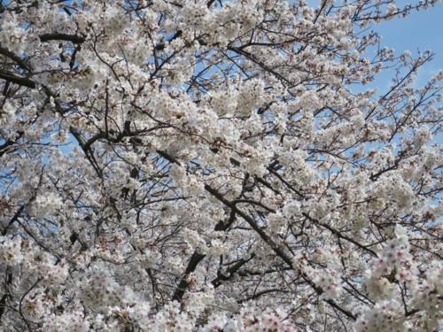 sakura tsutsumi14 (4)