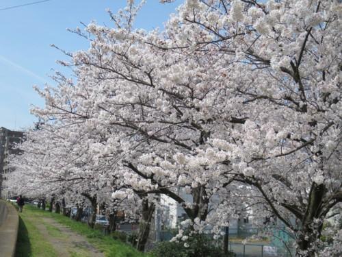 sakura tsutsumi14 (8)