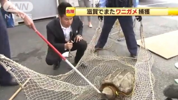 滋賀でまたワニガメ捕獲 捨てられたペットか 体長70cm、体重23kg