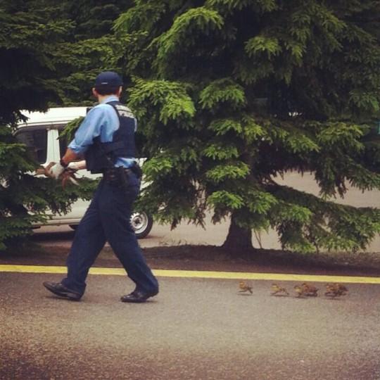 【画像】警官が親ガモを手に持ち、走る車に気を配りつつ、子ガモちゃん達を誘導
