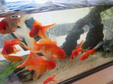 ③店内は金魚や熱帯魚がいっぱい・・・