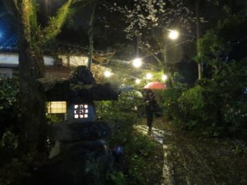 雨の夜桜でした