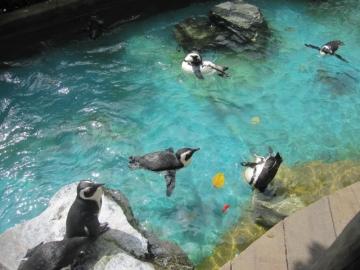 ・ペンギン展示は日本と同じく飛ぶように泳ぐところも見られました