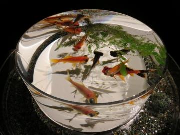 (金魚品評)実際、金魚品評をするのに適したデザイン