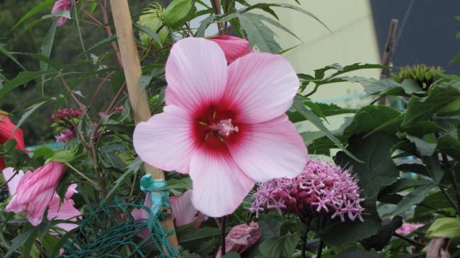 ケナフの花