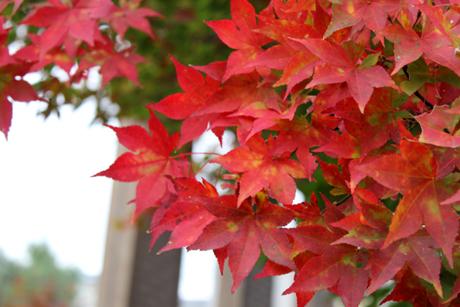 お向かいの紅葉
