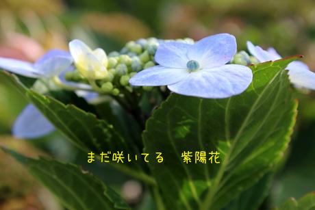 お散歩道に紫陽花