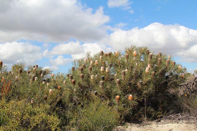 8:2Hookers Banksia