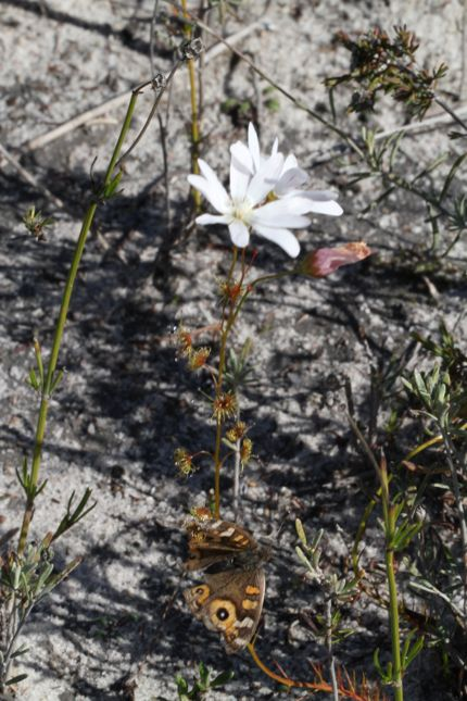 8:2Drosera heterophylla