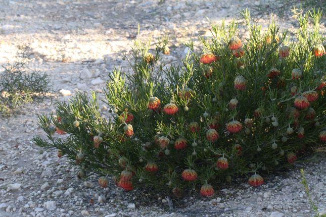8:2Diplolaena angustifolia 全体