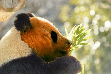日焼けパンダ