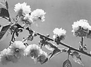 菊櫻・花弁