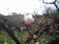 逆光の桃花