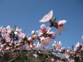 谷戸に咲く桃の花