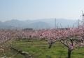四月九日の桃畑