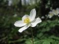 イチリンソウが咲いたよ