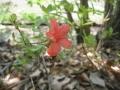 ヤマツツジも咲き始めました