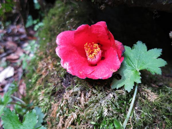 菊池渓谷 苔と椿