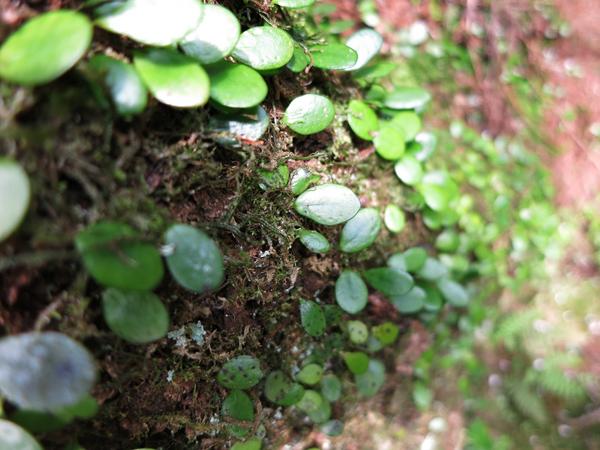 菊池渓谷 蔦