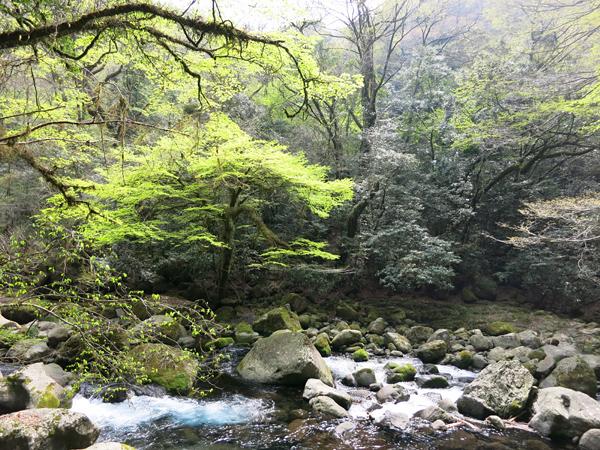 菊池渓谷 新緑