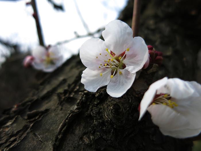 平岡公園 梅の花